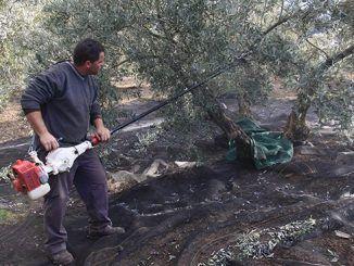 Agricultor realizando trabajos en un olivo.