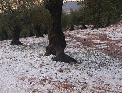 El olivar, por su parte, ha sido fuertemente castigado por el pedrisco en Cabeza del Buey