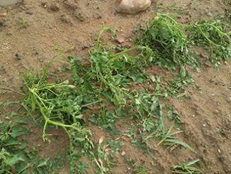 Las tormentas del pasado fin de semana, cuyo epicentro ha sido Santa Amalia, han provocado importantes daños en cultivos como el tomate, frutal y maíz